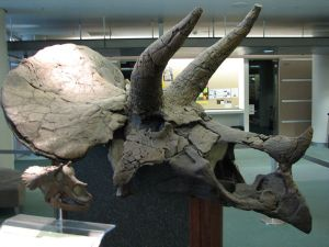 Triceratops skull on display at the University of California, Berkeley in VLSB.  Photo by EncycloPetey.