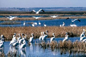 Group of migrating pelicans at Cheyenne Bottoms, 2004.  Photo by Kansas Geological Survey.