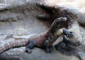 Komodo Dragon (Varanus komodoensis).  Image credit:  Dezidor