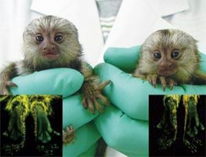 Marmoset offspring from a genetically modified father have feet that glow green on the soles when observed in UV light (Image: E.Sasaki et al. 2009)