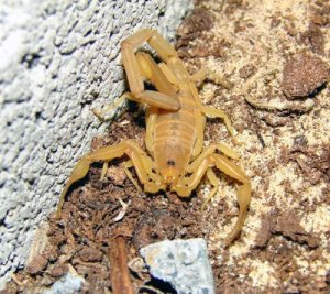 Bark Scorpion (centruroides exilicauda).  Photo credit:  Furryscaly