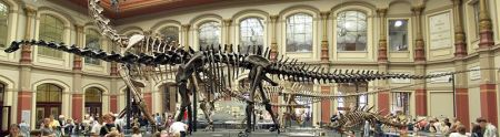Diplodocus skelton at the Humboldt Museum of Natural History in Berlin.  Photo credit:  Raimond Spekking/Wikipedia