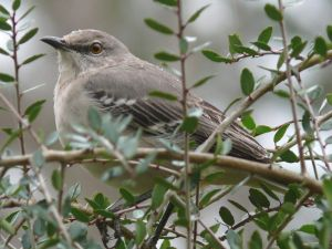 A Northern Mockingbird (Mimus polyglottos) taking shelter from the rain in a Weeping Holly tree in North Carolina.  Photo credit:  Ken Thomas/Wikipedia