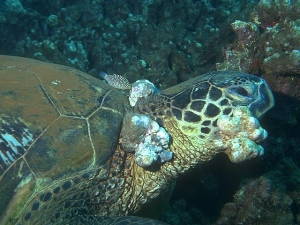 Green Turtle (Chelonia mydas) with fibropapillomatosis.  Photo: © Ursula Keuper-Bennett/Peter Bennett.  Click photo for copyright information.