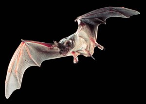 Mexican free-tailed bat.  Photo Credit:  USDoT