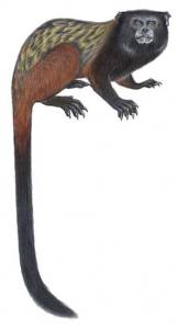 Artist's rendering of Mura's saddleback tamarin.  Image credit:  Stephen D. Nash
