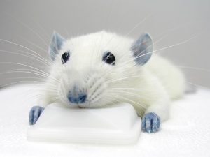 Injured rat treated with BBG.  Image Credit: Takahiro Takano/University of Rochester