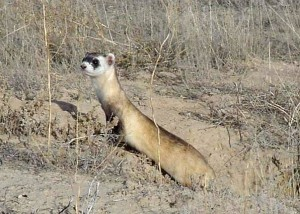 An endangered black-footed ferret (Mustela nigripes).  Photo credit:  Tami S. Black/US Fish & Wildlife Service