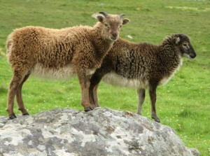 A pair of Soay lambs on Hirta.  Photo credit:  Eileen Henderson/The Geography Project