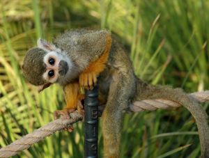 Squirrel Monkey.  Image Credit:  Braboowi