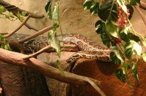 African Rock Python (Python sebae).  Image credit:  Brian Gratwicke/Wikipedia
