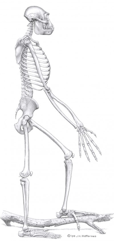 Artist's illustration of the skelton of Ardipithecus ramidus.  Image Credit:  J.H. Matternes/Science/AAAS
