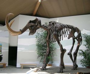 Mammoth skelton located in the Southeast Bavarian Natural History and Mammoth Museum. Image credit: Lou.gruber/Wikipedia